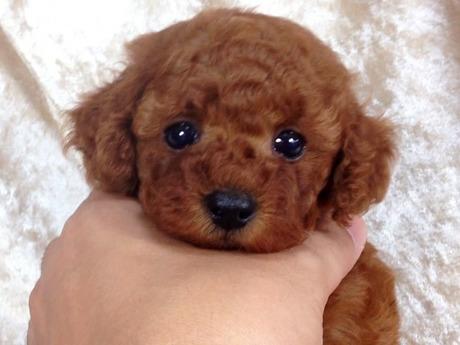 トイプードルの子犬(ID:1269211005)の3枚目の写真/更新日:2018-06-29