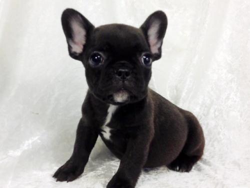 フレンチブルドッグの子犬(ID:1269211006)の2枚目の写真/更新日:2018-07-13