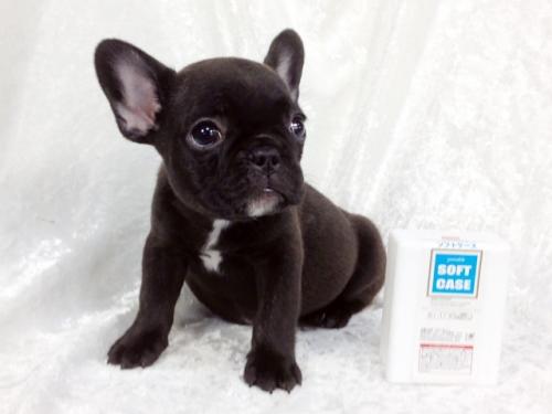フレンチブルドッグの子犬(ID:1269211006)の3枚目の写真/更新日:2018-07-13