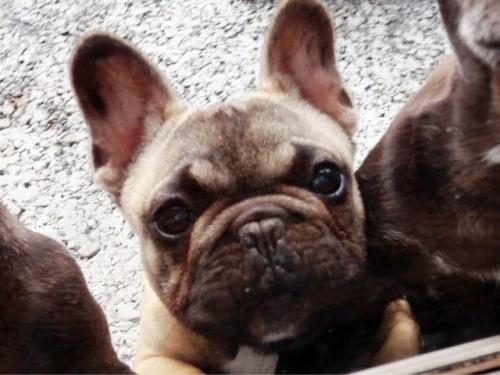 フレンチブルドッグの子犬(ID:1269211007)の1枚目の写真/更新日:2018-08-04