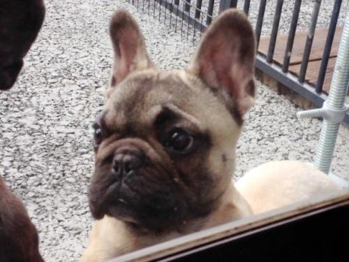 フレンチブルドッグの子犬(ID:1269211007)の2枚目の写真/更新日:2018-08-04