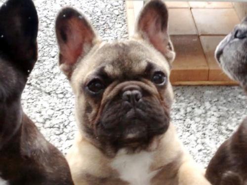 フレンチブルドッグの子犬(ID:1269211007)の3枚目の写真/更新日:2018-08-04