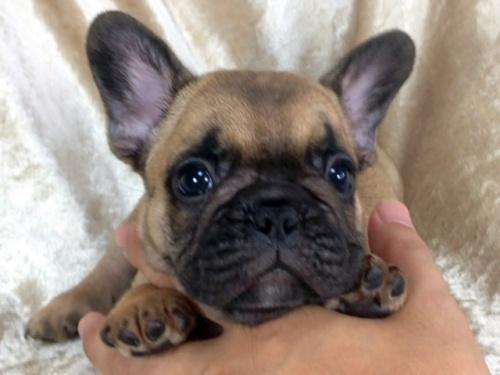 フレンチブルドッグの子犬(ID:1269211008)の1枚目の写真/更新日:2018-08-04