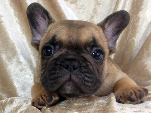 フレンチブルドッグの子犬(ID:1269211008)の2枚目の写真/更新日:2018-08-04