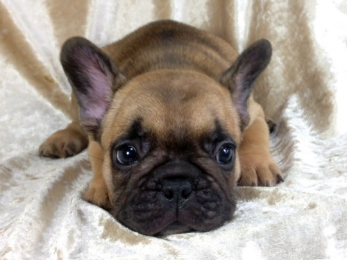 フレンチブルドッグの子犬(ID:1269211008)の3枚目の写真/更新日:2018-08-04