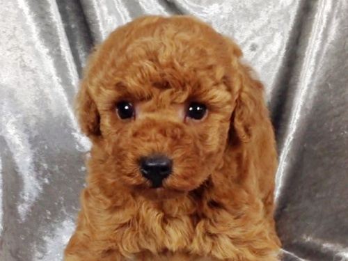トイプードルの子犬(ID:1269211009)の1枚目の写真/更新日:2018-08-28
