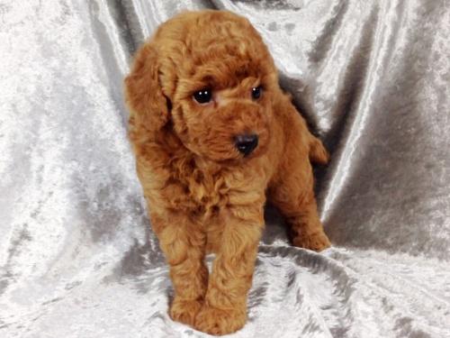 トイプードルの子犬(ID:1269211009)の2枚目の写真/更新日:2018-08-28