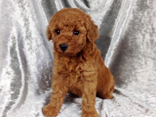 トイプードルの子犬(ID:1269211009)の3枚目の写真/更新日:2018-08-28