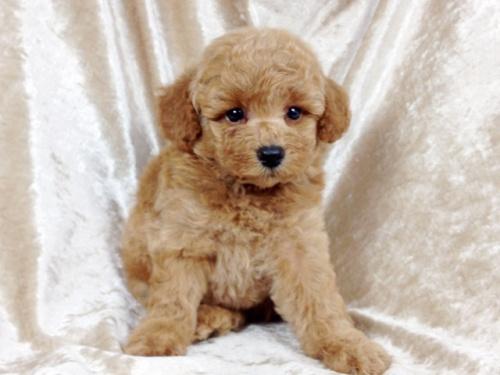 トイプードルの子犬(ID:1269211010)の1枚目の写真/更新日:2018-09-06