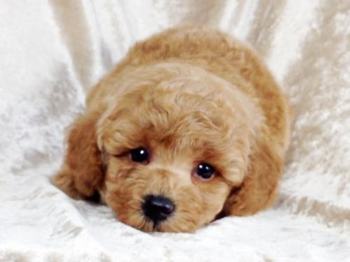 トイプードルの子犬(ID:1269211010)の2枚目の写真/更新日:2018-09-06