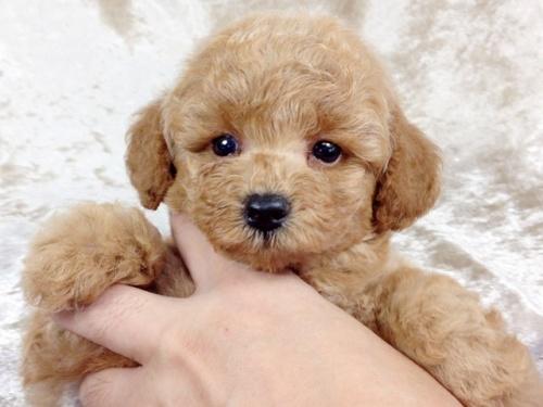 トイプードルの子犬(ID:1269211010)の3枚目の写真/更新日:2018-09-06