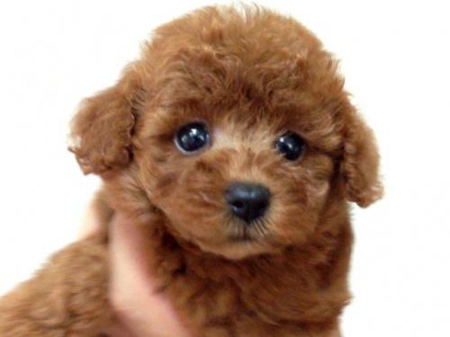 トイプードルの子犬(ID:1269211011)の1枚目の写真/更新日:2018-09-06