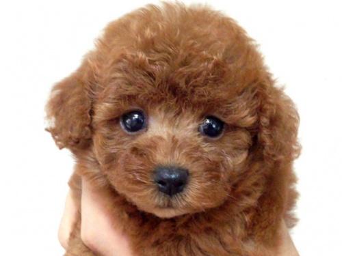 トイプードルの子犬(ID:1269211011)の2枚目の写真/更新日:2018-09-06