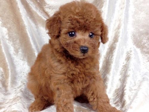 トイプードルの子犬(ID:1269211011)の3枚目の写真/更新日:2018-09-06