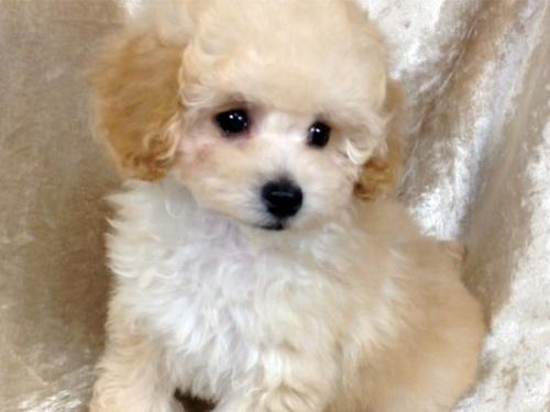 トイプードルの子犬(ID:1269211012)の1枚目の写真/更新日:2018-10-14