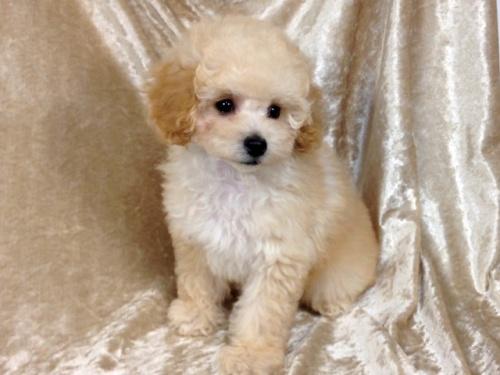 トイプードルの子犬(ID:1269211012)の2枚目の写真/更新日:2018-10-14