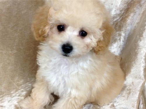 トイプードルの子犬(ID:1269211012)の3枚目の写真/更新日:2018-10-14
