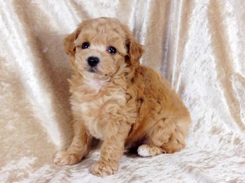 トイプードルの子犬(ID:1269211013)の1枚目の写真/更新日:2018-09-21
