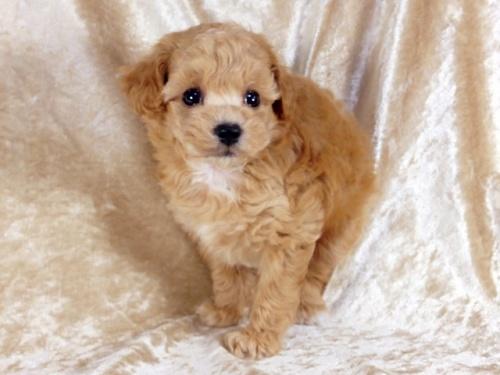 トイプードルの子犬(ID:1269211013)の2枚目の写真/更新日:2018-09-21