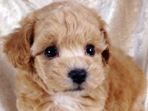 トイプードルの子犬(ID:1269211013)の3枚目の写真/更新日:2018-09-21