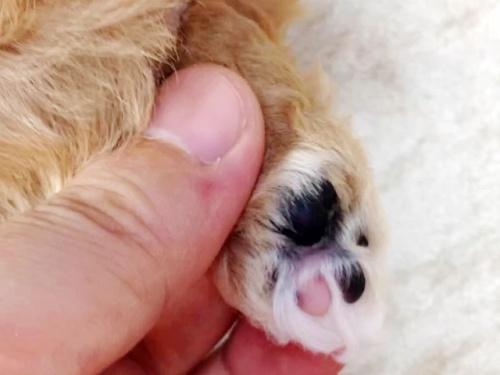 トイプードルの子犬(ID:1269211013)の4枚目の写真/更新日:2018-09-21