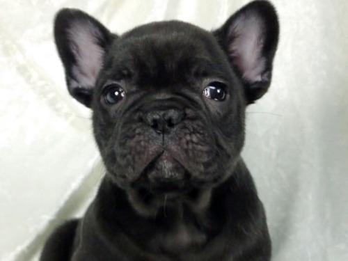 フレンチブルドッグの子犬(ID:1269211023)の1枚目の写真/更新日:2021-02-20