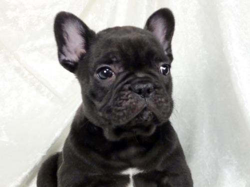 フレンチブルドッグの子犬(ID:1269211023)の2枚目の写真/更新日:2021-02-20