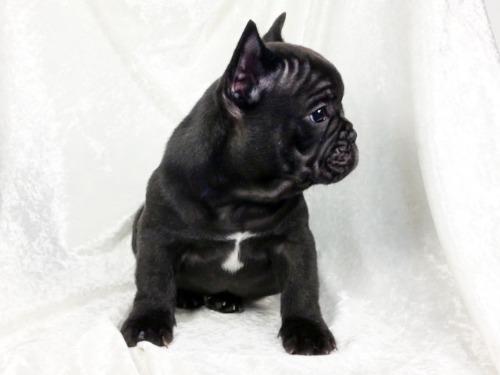 フレンチブルドッグの子犬(ID:1269211023)の3枚目の写真/更新日:2021-02-20