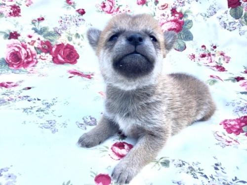 柴犬の子犬(ID:1269411001)の2枚目の写真/更新日:2017-08-10