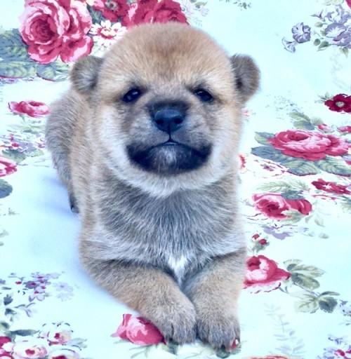 柴犬の子犬(ID:1269411002)の1枚目の写真/更新日:2017-08-10