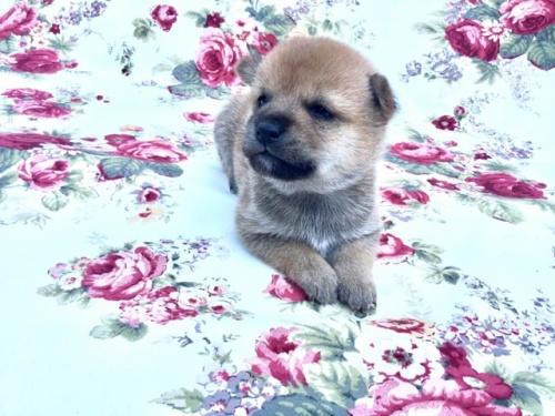 柴犬の子犬(ID:1269411002)の2枚目の写真/更新日:2017-08-10