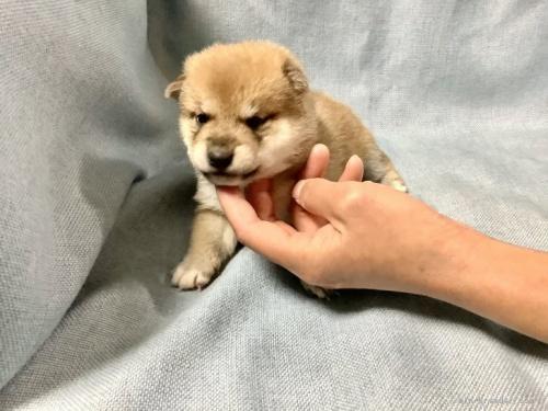 柴犬の子犬(ID:1269411006)の2枚目の写真/更新日:2021-02-19