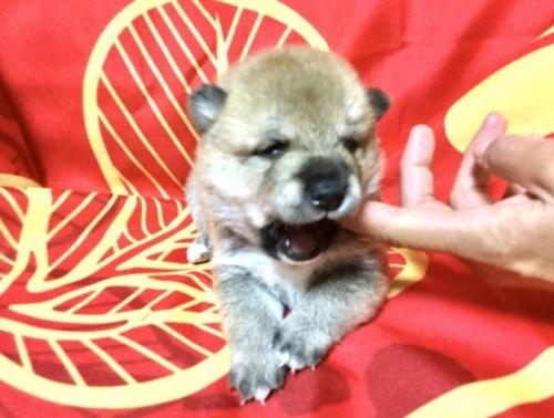 柴犬の子犬(ID:1269411007)の2枚目の写真/更新日:1970-01-01