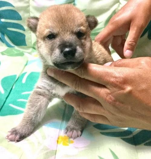 柴犬の子犬(ID:1269411013)の1枚目の写真/更新日:2019-06-14