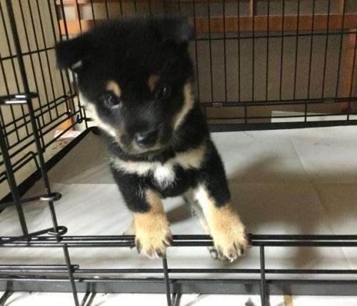 柴犬の子犬(ID:1269411014)の1枚目の写真/更新日:2019-06-14