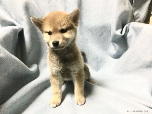 柴犬の子犬(ID:1269411036)の1枚目の写真/更新日:2019-09-04