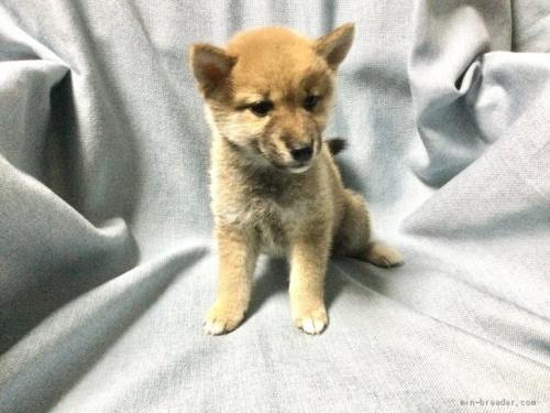 柴犬の子犬(ID:1269411036)の2枚目の写真/更新日:2019-09-04