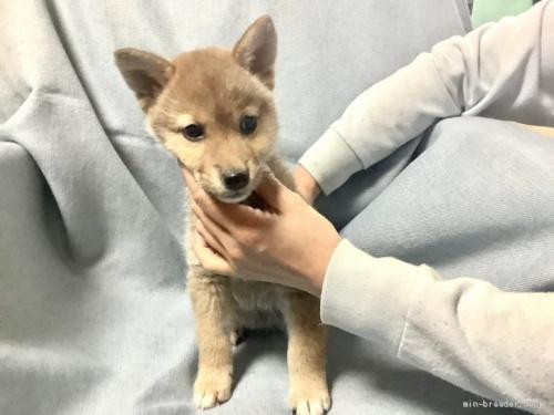 柴犬の子犬(ID:1269411046)の2枚目の写真/更新日:2019-09-04