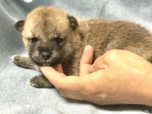 柴犬の子犬(ID:1269411052)の1枚目の写真/更新日:2019-09-04