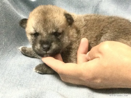 柴犬の子犬(ID:1269411052)の2枚目の写真/更新日:2019-09-04