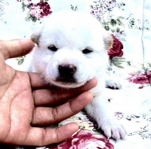 柴犬の子犬(ID:1269411056)の1枚目の写真/更新日:2019-09-04