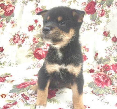 柴犬の子犬(ID:1269411062)の2枚目の写真/更新日:2019-09-04