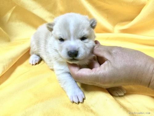 柴犬の子犬(ID:1269411078)の1枚目の写真/更新日:2020-01-23