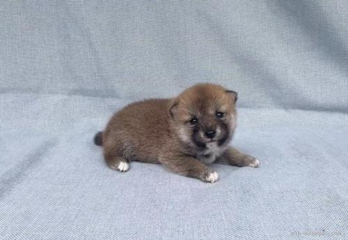 柴犬の子犬(ID:1269411092)の4枚目の写真/更新日:2021-09-02