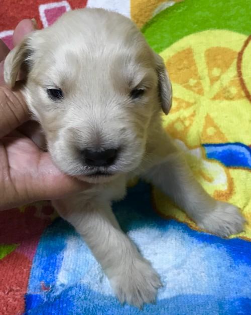 ゴールデンレトリバーの子犬(ID:1269511002)の1枚目の写真/更新日:2017-08-09