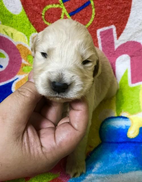 ゴールデンレトリバーの子犬(ID:1269511005)の1枚目の写真/更新日:2017-08-09