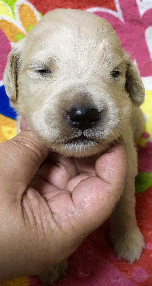 ゴールデンレトリバーの子犬(ID:1269511006)の2枚目の写真/更新日:2017-08-09