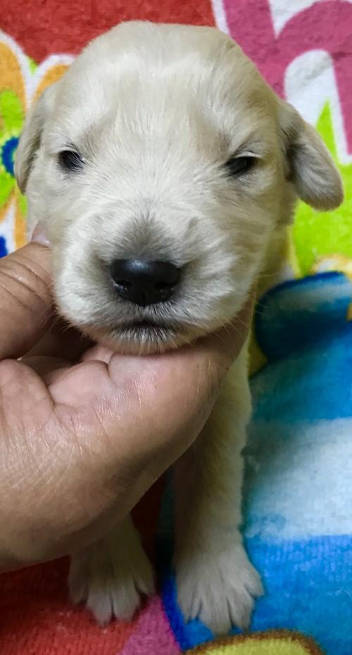 ゴールデンレトリバーの子犬(ID:1269511007)の1枚目の写真/更新日:2017-08-09
