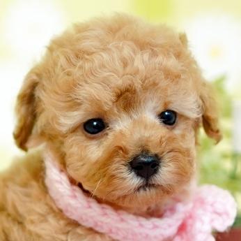 トイプードルの子犬(ID:1269711001)の1枚目の写真/更新日:2019-05-02