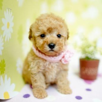 トイプードルの子犬(ID:1269711001)の2枚目の写真/更新日:2019-05-02